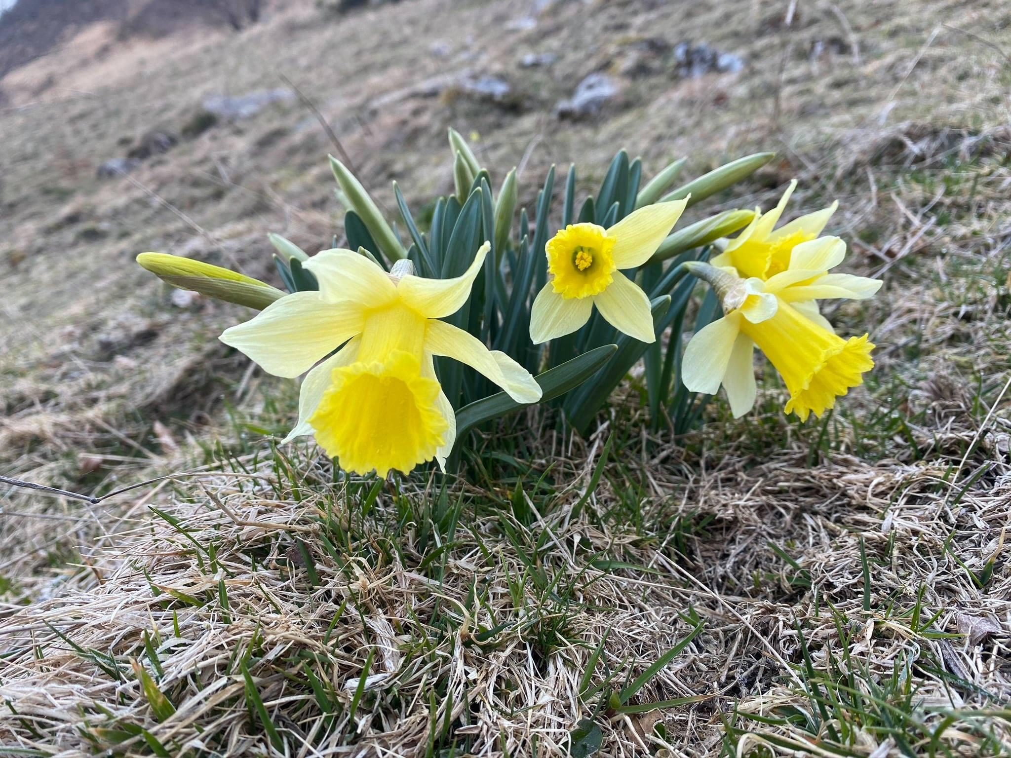 C'est le printemps : des jonquilles des Pyrénées se rencontrent aux étages montagnard et subalpin