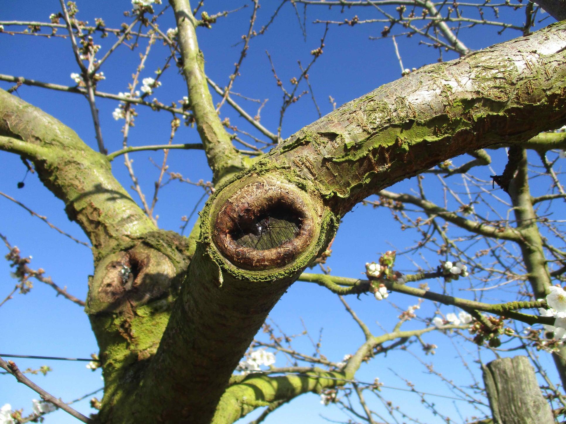 Branche de cerisier qui cicatrise en formant un bourrelet de cicatrisation. La plaie de l'arbre se referme et les champignons ne peuvent plus rentrer pour parasiter l'arbre.